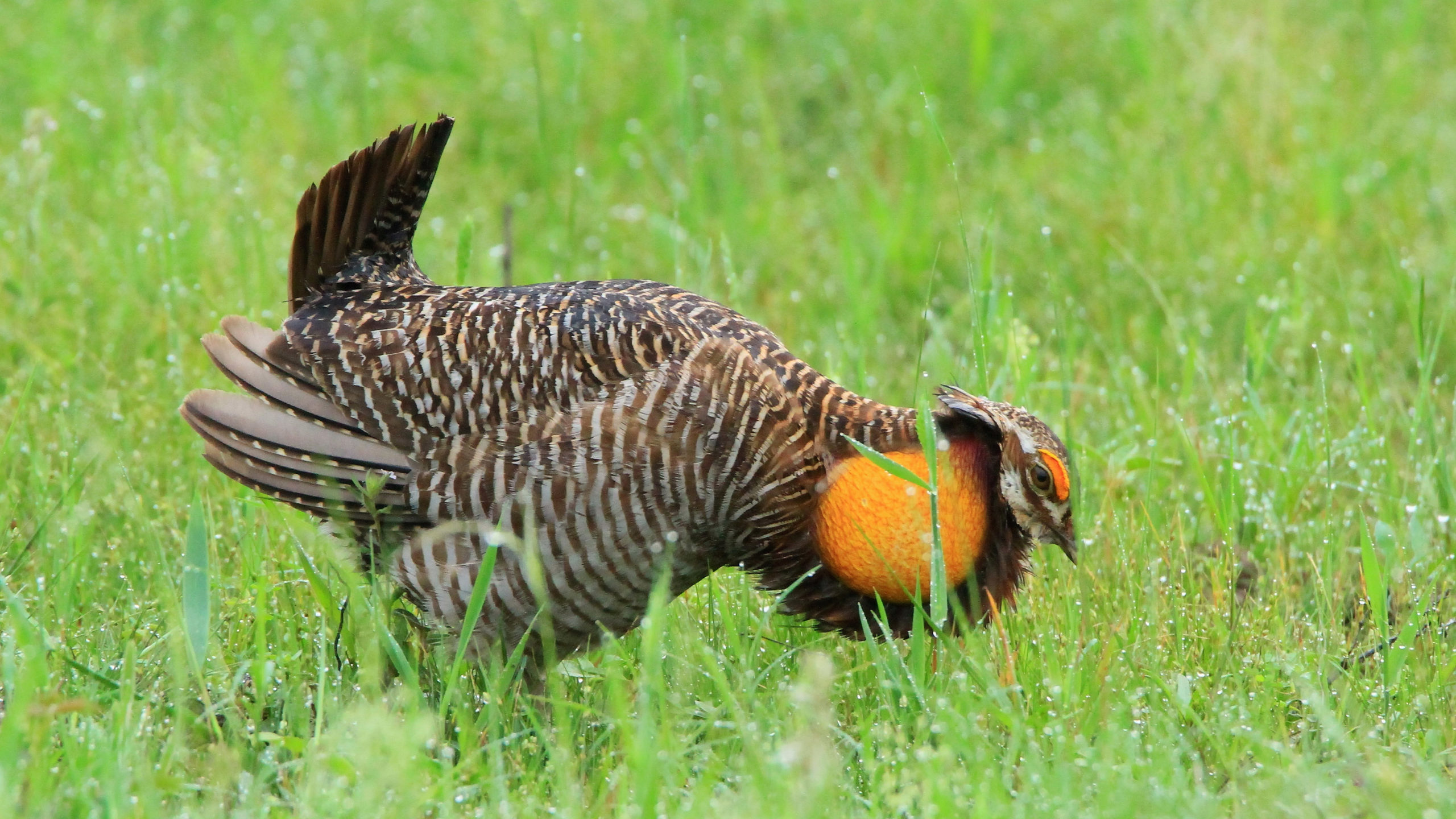 Friends of Attwater Prairie Chicken Refuge